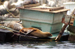 Seals Lounging Stock Photography