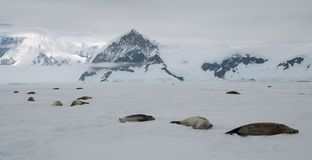 Adult seals lying on fast-ice in front of mountains, Antarctic Peninsula royalty free stock photo