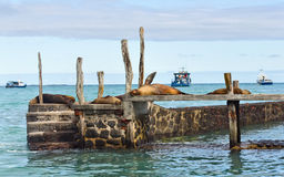 Seals lying on a pier Royalty Free Stock Image