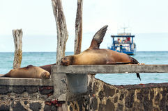 Seals lying on a pier Stock Photo