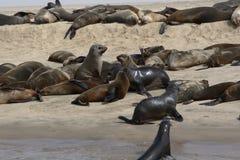 Seals lying on a sandbank near Swartkopmund Stock Photography