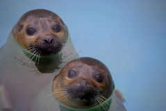 Seals Royalty Free Stock Image