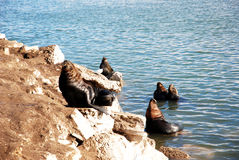 Seals in Mar de Plata (Argentina) Royalty Free Stock Photo