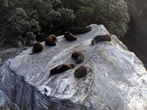 Seals in Milford Sound Royalty Free Stock Photos