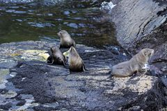 Seals in the Milford Sound Stock Photo