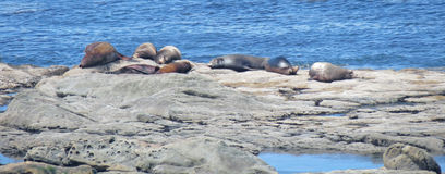 Seals Napping- Panorama Stock Photo