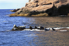Seals near Bonaventure Island in Gaspesie Royalty Free Stock Photos