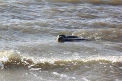 Seals near dutch village of Hollum, Ameland stock image