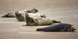 Seals Near Island Terschelling Netherlands Royalty Free Stock Image