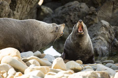 Seals in NZ Royalty Free Stock Images