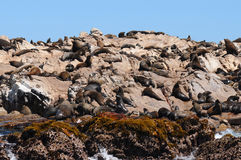 Seals On Dyer Island,south Africa Stock Photos