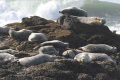 Seals On Pacific Ocean Coast Royalty Free Stock Photography