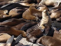 Free Seals On Pier 39 - San Francisco Royalty Free Stock Photos - 18789698