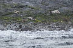 Seals on Papey Island in East Iceland Royalty Free Stock Photo