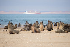 Seals at Pelican Point Royalty Free Stock Photo