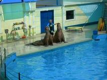 морж. Performances of walruses in the Dolphinarium, settlement Nebug Krasnodar region Stock Photo
