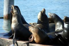 Seals on a pier. Seals and Sea Lions on a pier at Fisherman's Wharf in San Francisco, CA Royalty Free Stock Photos