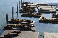Seals at pier 39 Royalty Free Stock Images