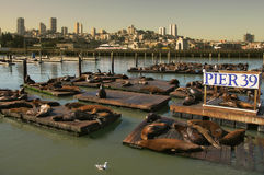 Seals on Pier 39. Sea lions on pier 39 in San Francisco, USA Royalty Free Stock Photography