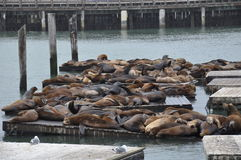 Seals at Pier 39 in San Francisco Stock Photography