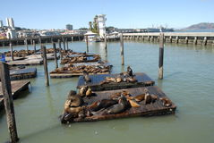 The seals of pier 39 Stock Images