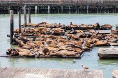 Seals at Pier 39. Seals laying at Pier 39 in San Francisco Stock Photo