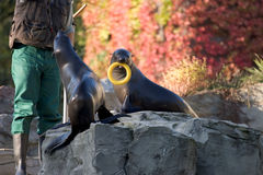 Seals at Play. Frankfurt Zoo Stock Photos
