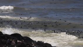 Seals playing in the ocean at Cape Cross stock video