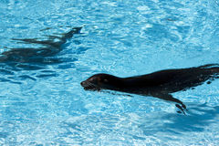Seals in the pool. Seals in the zoo at Barcelona Catalonia Spain Royalty Free Stock Photo