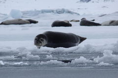Seals relaxing Royalty Free Stock Photo