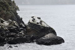 Seals relaxing at Seal Rock Royalty Free Stock Photography