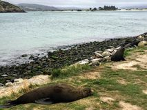 Seals relaxing on the shores of the Otago Peninsula outside of D stock photography