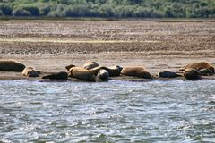 Seals. Rest on the beach, California Stock Photography