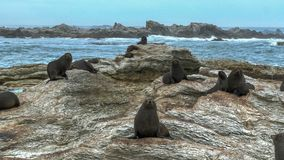 Seals rest on the rocks at kaikoura seal colony. A group of seals rest on the rocks at kaikoura seal colony stock image