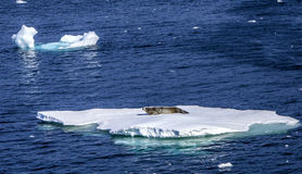 Seals resting on floating ice-2 Stock Photos
