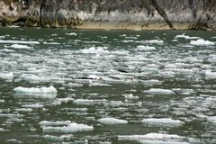 Seals on an ice flow in Tracey Arm Alaska Royalty Free Stock Photos