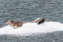 Seals Resting On Ice Stock Image