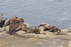 Seals resting on an ocean cliff Stock Photos