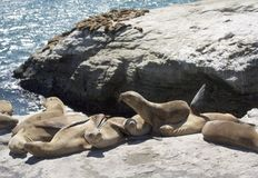 Seals Resting On Santa Cruse Rocks Stock Image