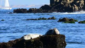 Seals Resting on a Rock stock video footage