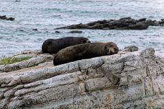 Seals resting on a rock Royalty Free Stock Photo