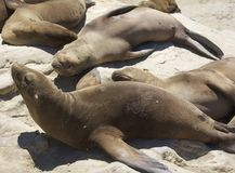 Seals Resting at the rocks Stock Photo