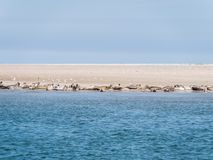 Seals resting on sand flats of Rif in tidal sea Waddensea, Netherlands royalty free stock photos
