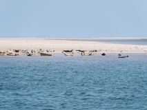 Seals resting on sand flats of Rif in tidal sea Waddensea, Netherlands royalty free stock photo
