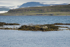 Seals resting on seaweeds at Westfjords peninsula, Vigur Island Stock Photos