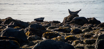Seals resting in Ytri Tunga beach Royalty Free Stock Images