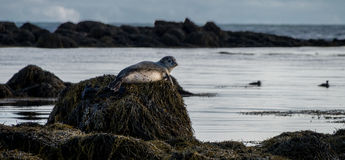 Seals resting in Ytri Tunga beach Stock Photography