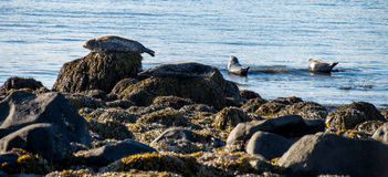 Seals resting in Ytri Tunga Stock Photography