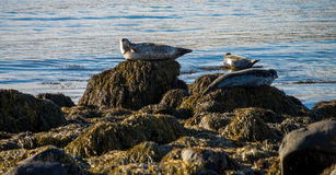 Seals resting in Ytri Tunga Royalty Free Stock Photography