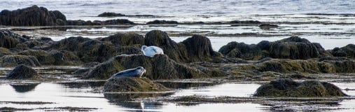 Seals resting in Ytri Tunga beach Royalty Free Stock Photo